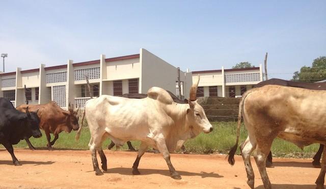 Juba-cows